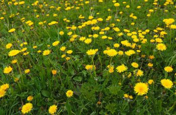 dandelion-cancer-treatment