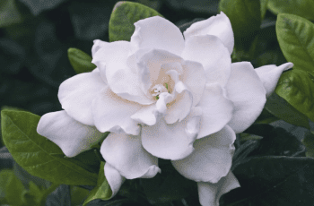 gardenia flower health benefits